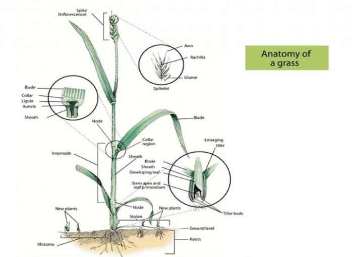 The Anatomy of A Grass Lawn