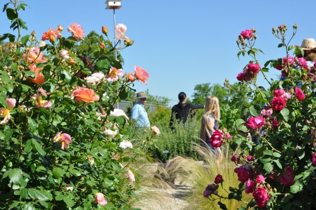 What Are Earth-Kind® Roses And How Can I Grow Them?