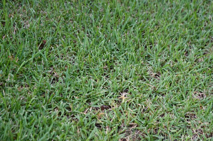 What Kind of Fertilizer for St Augustine Grass?
